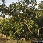 Mandarynki w ogrodzie botanicznym